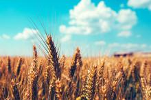 Golden Wheat Field On Sunny Summer Day