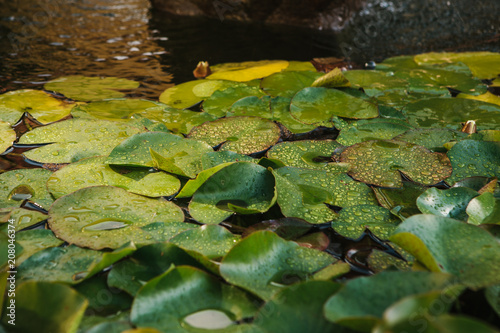 Foto op Plexiglas Waterlelies Many leaves of the water lily in the pond