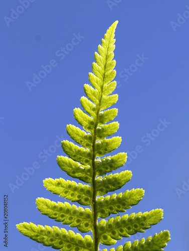 Divided leaf of the ostrich fern, Matteuccia struthiopteris, with developing spores against blue sky.