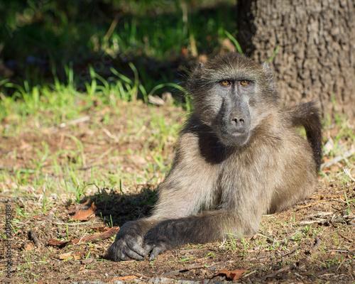 Foto op Plexiglas Aap A big male baboon relaxes on the grass