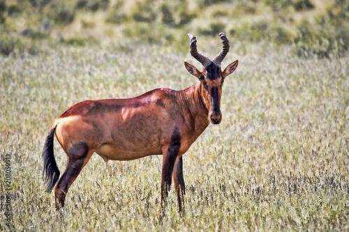 Poster Antilope Red Hartebeest, Alcelaphus buselaphus caama, Kalahari South Africa