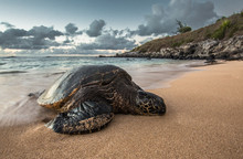A Peacefully Resting Turtle At Sunset In Hawaii