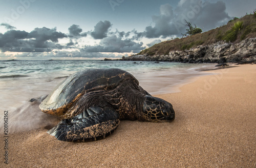 Foto op Aluminium Schildpad A Peacefully Resting Turtle at Sunset in Hawaii
