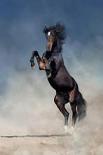 Bay Stallion With Long Mane  Rearing Up In Desert Sand
