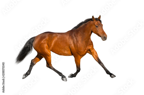 Foto op Canvas Paarden Bay horse run isolated on white