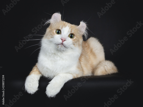 Creme with white adult American Curl cat laying on black background Canvas-taulu