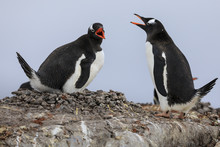 Gentoo Penguin (Pygoscelis Papua) Pair Communicating, Damoy Point, Dorian Bay, Wiencke Island, Antarctic Peninsula, Antarctica