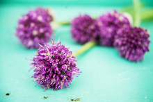 Beautiful Purple Flowers Of The Ornamental Onion (Allium Giganteum) Edible Flowers