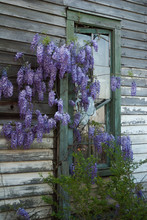 Wisteria Growing Around A Long Abandoned Farm House In Hoke County, NC