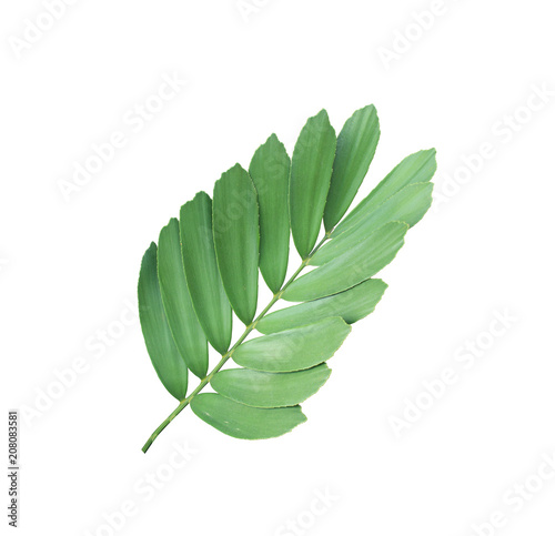 Fototapeta clump palm leaf ornamental plant isolated on white background obraz na płótnie