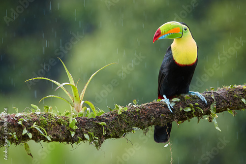 In de dag Toekan Famous tropical bird with enormous beak,Keel-billed toucan, Ramphastos sulfuratus, perched on a mossy branch in rain against rainforest background.Costa Rican black-yellow toucan,wildlife photography.