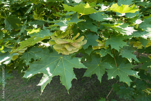 Photo Green leaves and unripe samaras of Acer platanoides