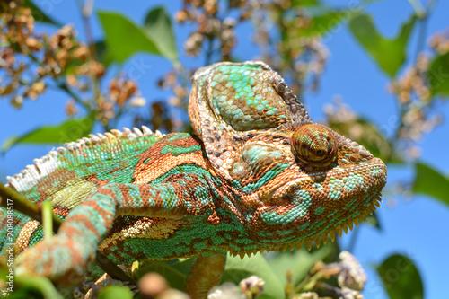 Foto op Plexiglas Kameleon Green chameleon camouflaged by taking colors of its nature