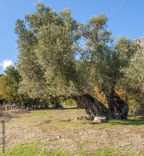 Foto op Plexiglas Olijfboom Single olive tree