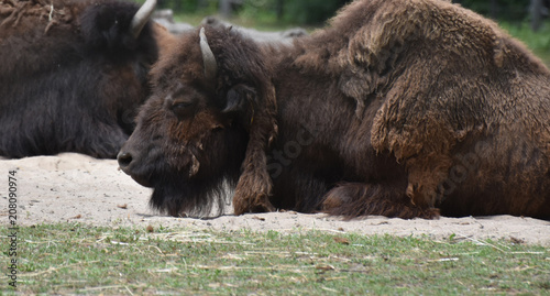 Keuken foto achterwand Buffel Shaggy American Buffalo Laying In a Field