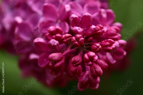 Keuken foto achterwand Lilac lilac, purple flower close-up