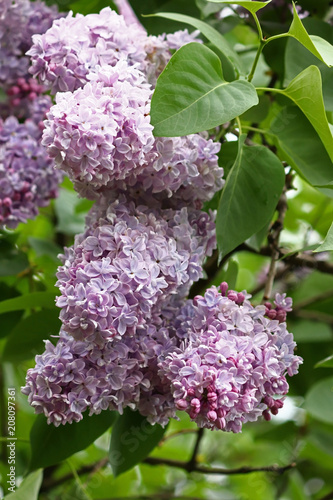 Foto op Canvas Lilac lilac, purple flower close-up with green leaves