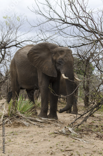 Photo Eléphant d'Afrique, loxodonta africana, African elephant, Parc national Kruger,