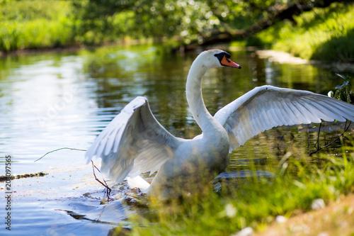 Foto op Plexiglas Zwaan White Swan near lake