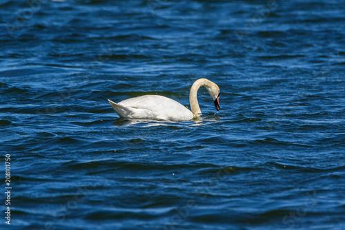 Foto op Plexiglas Zwaan lonely swan swimming in the lake