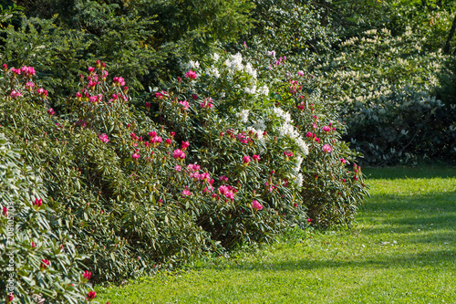 A Flower Bed Of Red And White Rhododendrons And Green Grass Buy