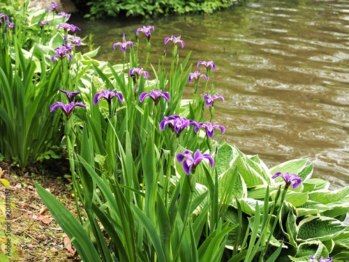 Purple Irises And Hosta Plants At The Edge Of A Lake Buy This