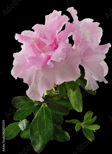 Papiers peints Azalea Delicate light pink Azalea flowers (Rhododendron) with leaves close up, isolated on a black