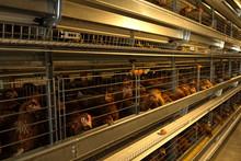 Chicken Farm In Thailand