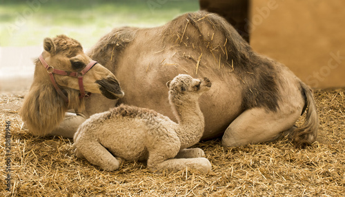 Foto op Plexiglas Kameel Young camel with mother in the stable (Camelidae)