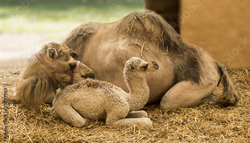Papiers peints Chameau Young camel with mother in the stable (Camelidae)