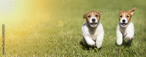 Obraz Web banner of happy Jack Russell Terrier dog puppies as playing - fototapety do salonu