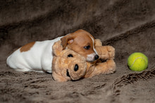 Jack Russell Puppy Sleeping On A Brown Blanket Headed To The Toy.