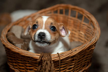 Jack Russell Puppy Climb Out Of A Wicker Basket.