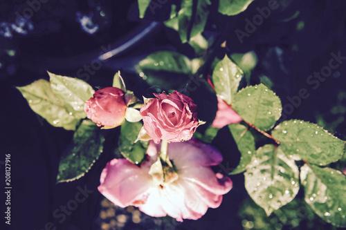Fototapety, obrazy: Rose Rosen Garten