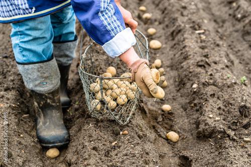 Fotografiet  Farmer planting potatoes on farm, organic farming concept