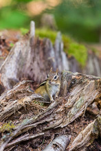 Chipmunk Forageing For Food In...