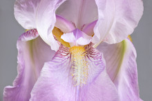 Pink Colored Iris Flower. Larg...