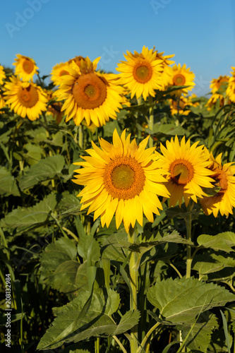 Fototapety, obrazy: Sunflower field in full bloom Quebec, Canada.
