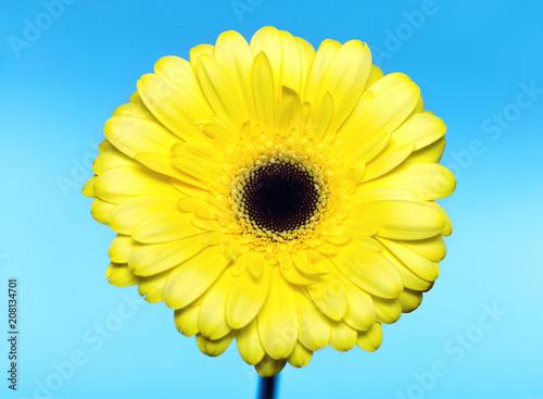 Foto op Canvas Madeliefjes flower yellow Daisy chrysanthemum