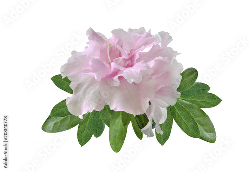 Delicate light pink Azalea flowers (Rhododendron) with leaves close up, isolated on white