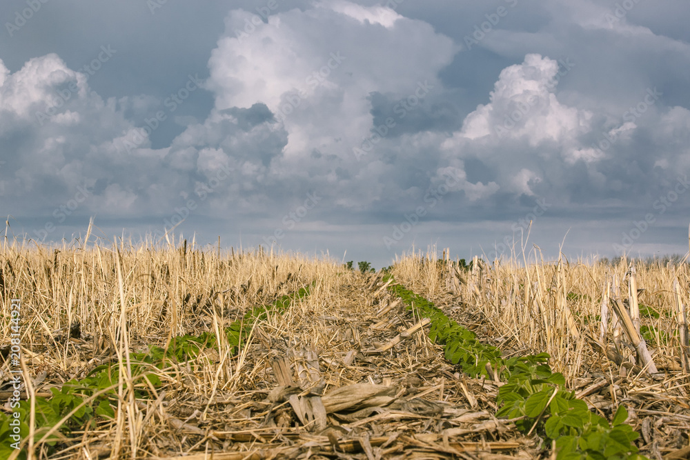 Fototapety, obrazy: 2 rows of soybeans in a no-till field of corn and rye residue with ominous storm clouds in the background.