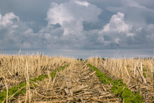 2 Rows Of Soybeans In A No-till Field Of Corn And Rye Residue With Ominous Storm Clouds In The Background.