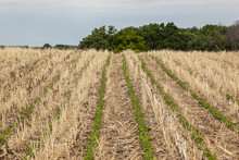 Rows Of No-till Soybeans Going...