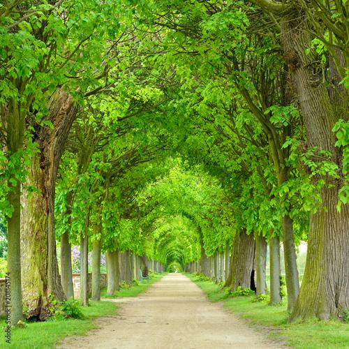 Foto Park mit tunnelartiger Lindenallee im Frühling, frisches grünes Laub