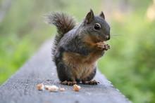 Squirrel In Stanley Park