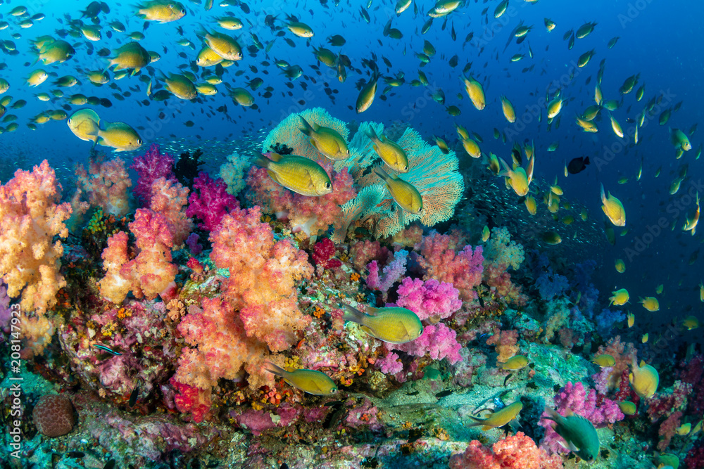 Fototapeta Colorful tropical fish swim around a healthy, thriving coral reef