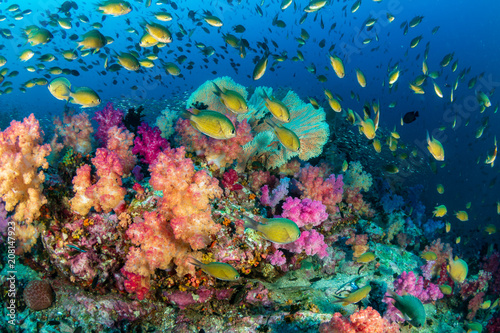 Poster Koraalriffen Colorful tropical fish swim around a healthy, thriving coral reef