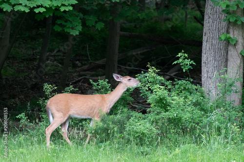 Fotografie, Obraz  Whitetail Deer 6