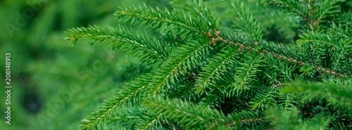 Fototapeta background of coniferous evergreen spruce forests obraz