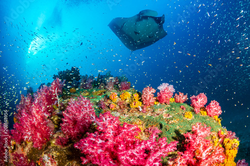 Poster Coral reefs Oceanic Manta Ray swimming over a colorful, healthy tropical coral reef